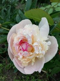 Весна на моей клумбе! Цветение первых цветов, приглашаю на мою клумбу!
