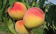 Созревают персики в Поволжье. Уход, зимовка