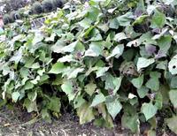 Необычный овощ якон. Выращивание