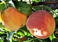 Созревают персики в Поволжье. Сорта