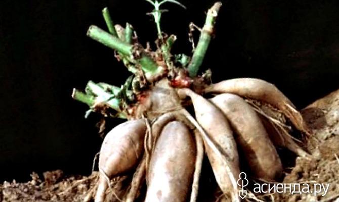 Необычный овощ якон. Лечебные свойства