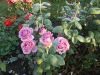 Опадение листьев у розы. Общие причины