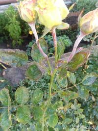 Опадение листьев у розы. Болезни