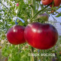 Томат-помидор Новинки 2019 О-Ш