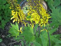 Пушистые соцветия бузульника Пржевальского. Размножение