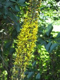 Пушистые соцветия бузульника Пржевальского. Выращивание