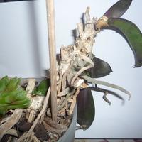 Помогите спасти орхидею