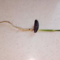 Проращивание косточек финика