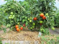 Чем мульчировать помидоры в парнике