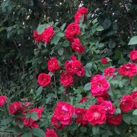 Опять хочется пообщаться со знатоками роз