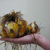 Лилии осенью: посадка, уход