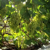 Секреты выращивания отличного винограда