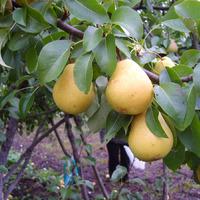 Как ускорить плодоношение груши: 6 способов