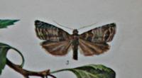 Вредители сливы. Бабочки