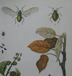 Вредители сливы. Сосущие насекомые