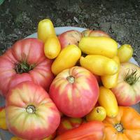 Лето кончилось и мои томаты тоже...