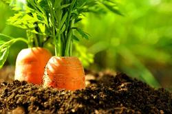 Как ускорить процесс созревания разных овощей?