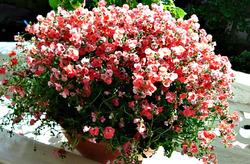 Розовое облако диасцеи. Домашнее выращивание