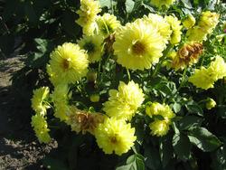 Успешное выращивание шикарных георгин. Уход
