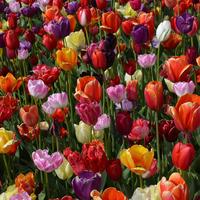 Как поступить с тюльпанами, которые отцвели?