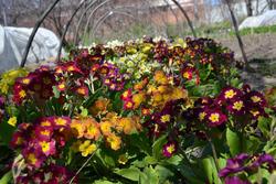 Успешное выращивание полиантовых примул. Знакомство
