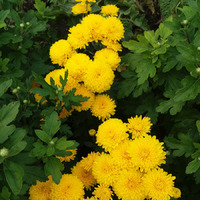 Продам укорененные черенки хризантем