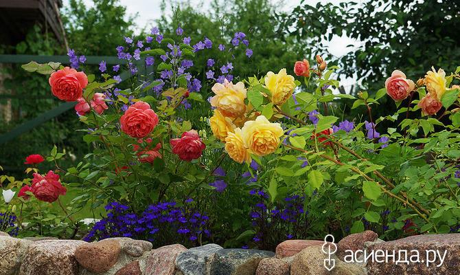 Что можно посадить рядом с розами?