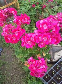 Знаменитая пеларгония. Выращивание