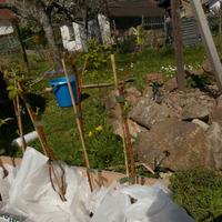 Наши новые сорта малины, посадила сегодня.