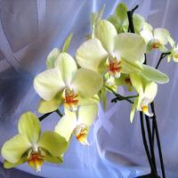 Орхидея Фаленопсис. Выращиваю деток из черенков цветоносов