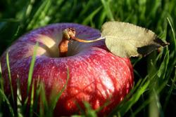 Наливных яблочек могу не дождаться никогда...