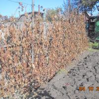 Немного о винограде Сорта растущие на моём участке.