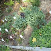 Продам неприхотливые экземпляры хвойных, лиственных пород, травянистых растений по низким ценам