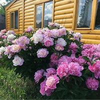 5 советов для пышного цветения пионов
