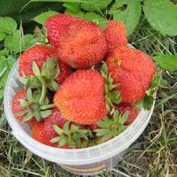 Продам рассаду крупноплодной клубники по низким ценам