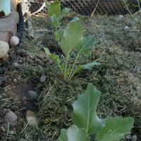 Салат и кольраби, апрель