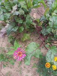 Цветы на огороде.