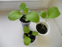 Выращивание баклажанов в теплицах