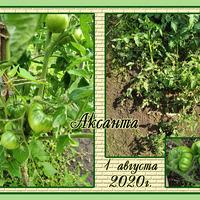Начало августа, разнообразные томаты на сибирской даче. Третья грядка и другие места.