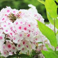 Флоксы – как вырастить пышный куст