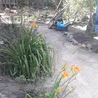 Лилейники в моем саду.