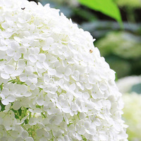 Гортензия: размножение цветка черенками