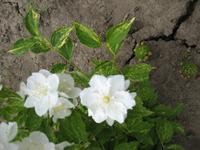 Чудесный аромат жасмина. Современные сорта