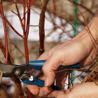 Обрезка ягодных кустов: правила и сроки