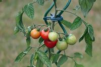 Зачем сердить «синьора помидора»?
