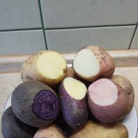 Картошка, сено, мне кажется я нашла метод избавления от колорадского жука.