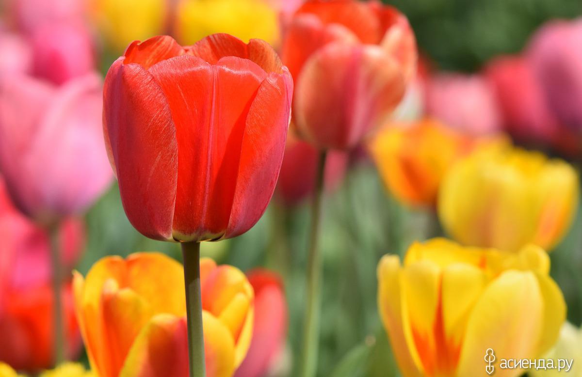 Луковицы тюльпанов: когда выкапывать, как хранить и высаживать