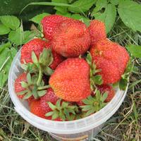 Продам по низким ценам урожайные сорта клубники крупноплодной, земляники, черной, белой смородины