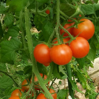 Борюсь с урожаем), сушу томаты.