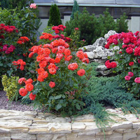 Ошибки при укрытии роз: что нужно знать?